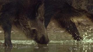 野猪幼崽长出鬃毛已经可以抵御寒冷的冬天 一部没有对白的影片