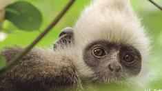 地球:神奇的一天 白头叶猴特辑