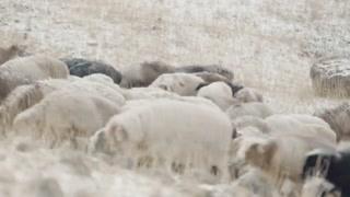 两万只羊惊险迁移