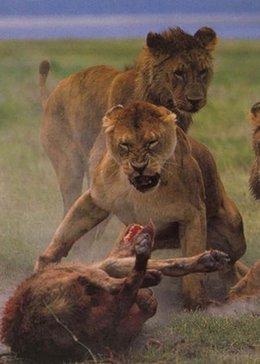 壁纸 动物 狮子 桌面 260_364 竖版 竖屏 手机