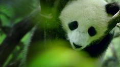 我们诞生在中国 制作特辑之熊猫