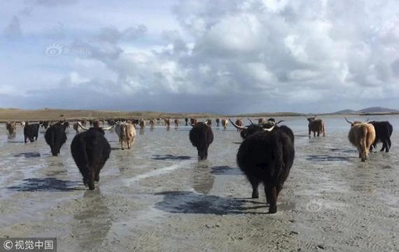 """英国主人带牛群""""渡海""""到无人岛产仔"""