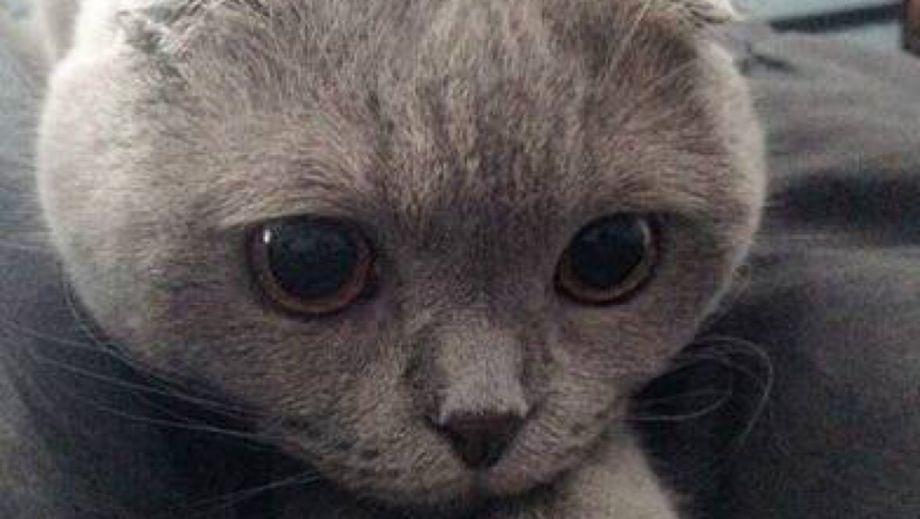 表情 苏格兰折耳猫头像 萌猫天地 表情