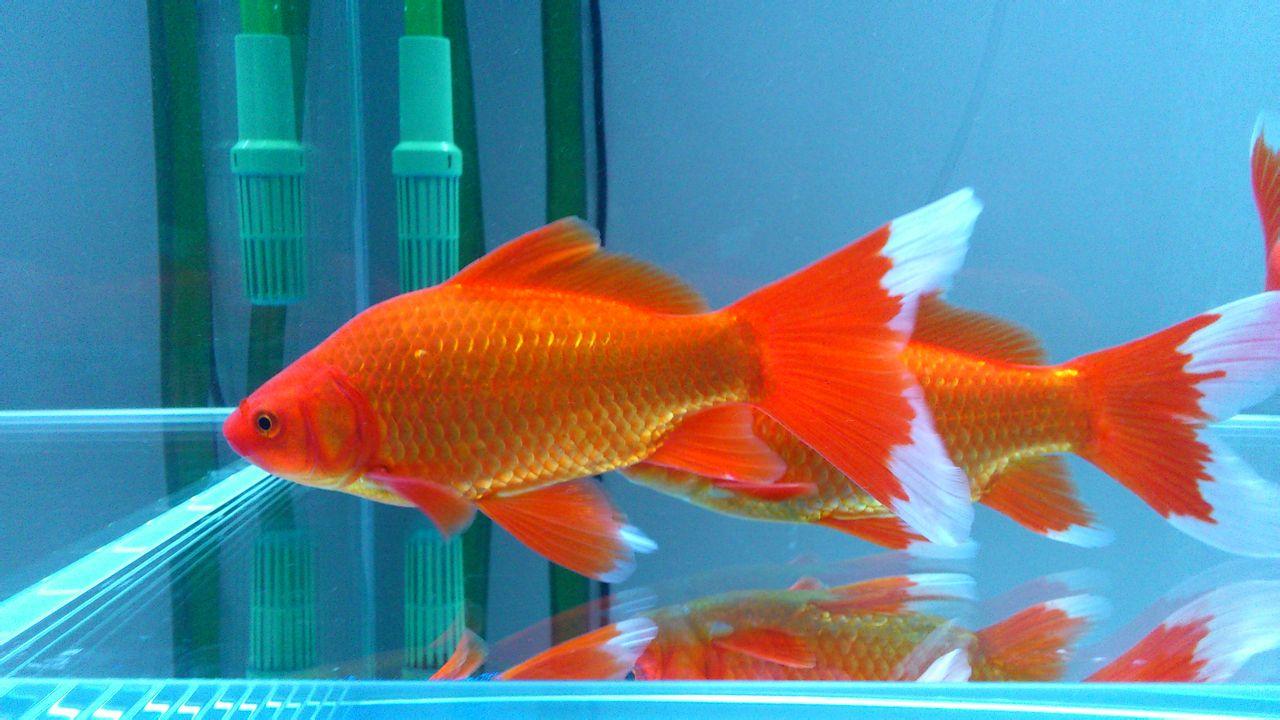 表情 红金鱼动态图 图片大全 表情