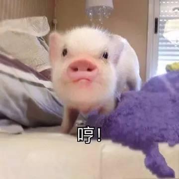表情 迷你猪动图 爱看网 表情