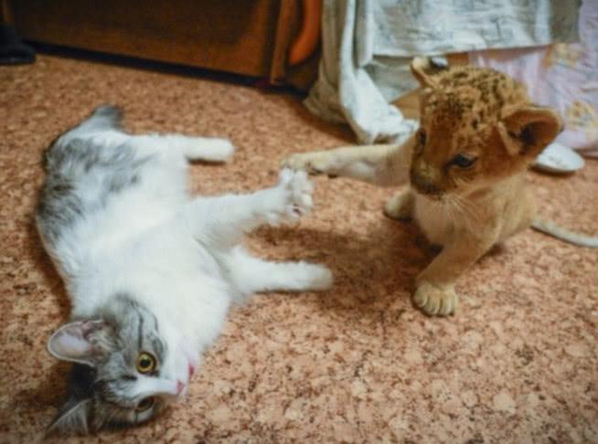表情 主人用假老虎去吓唬小猫,猫咪马上举双手投降,生气的样子不要太可爱  表情