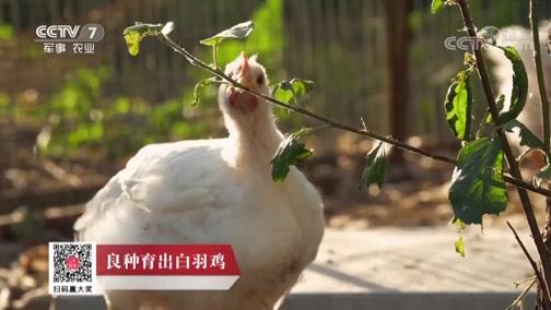 《科技苑》 20190730 良种育出白羽鸡