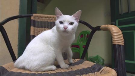 河内:老街上的白猫 早上的问候