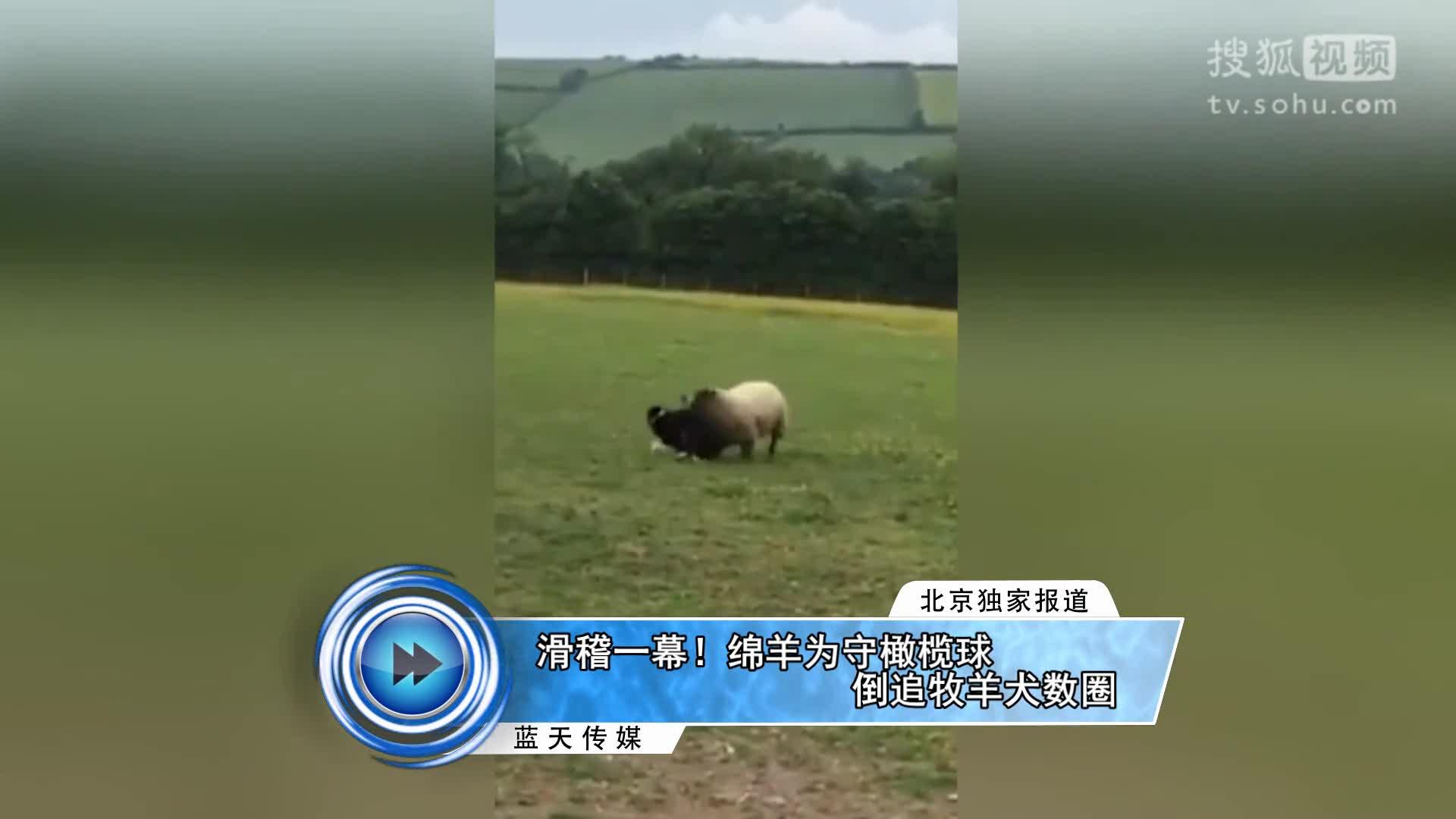 滑稽一幕!绵羊为守橄榄球倒追牧羊犬数圈