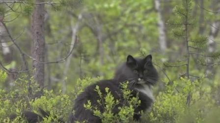 森林里的精灵 拥有浓密毛发的挪威森林猫