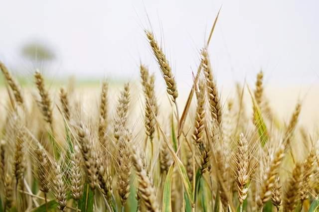 國內價格下跌之際一周之內卻進口瞭10萬噸小麥 市場怎麼瞭
