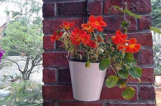 旱金莲的扦插养殖方法图片