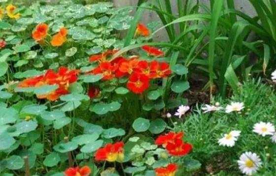 旱金莲的养殖方法怎么养图片
