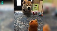 喜欢吵架的小柴柴遇上玩具小柴柴,没有吵赢架,好生气啊