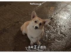 《一条叫王子的狗》终极预告 柯基王子城市大冒险