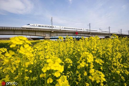 南通油菜花開 田野遍地金黃春意盎然