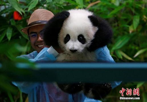 萌化!马来西亚新生大熊猫宝宝首亮相