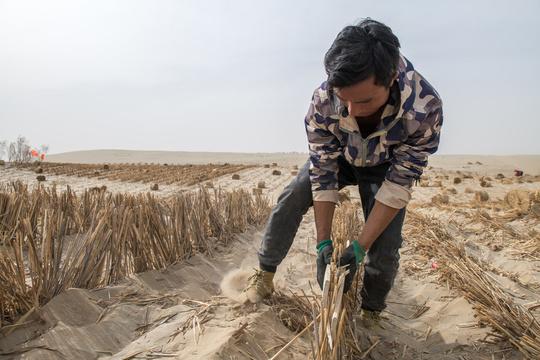 塔克拉玛干沙漠里的防沙工人