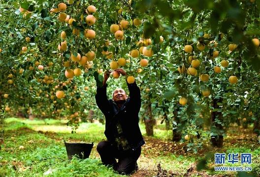 河北井陉:苹果产业助增收