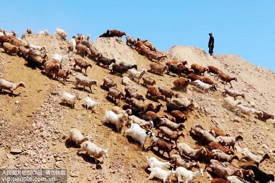 新疆昌吉:哈萨克牧民转场季