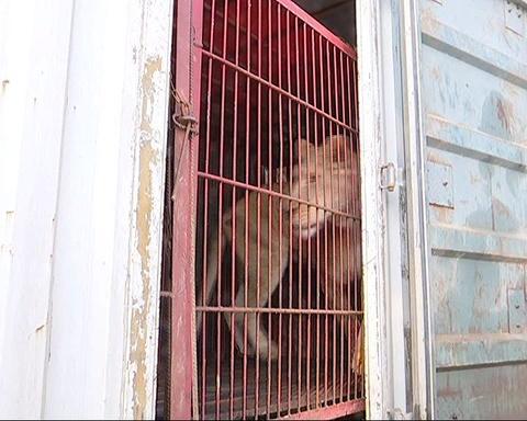 民警检查货车 发现后备箱内有2头狮子