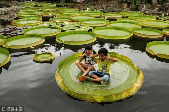 夏日谐趣 孩童在大王莲上扮鬼脸玩耍