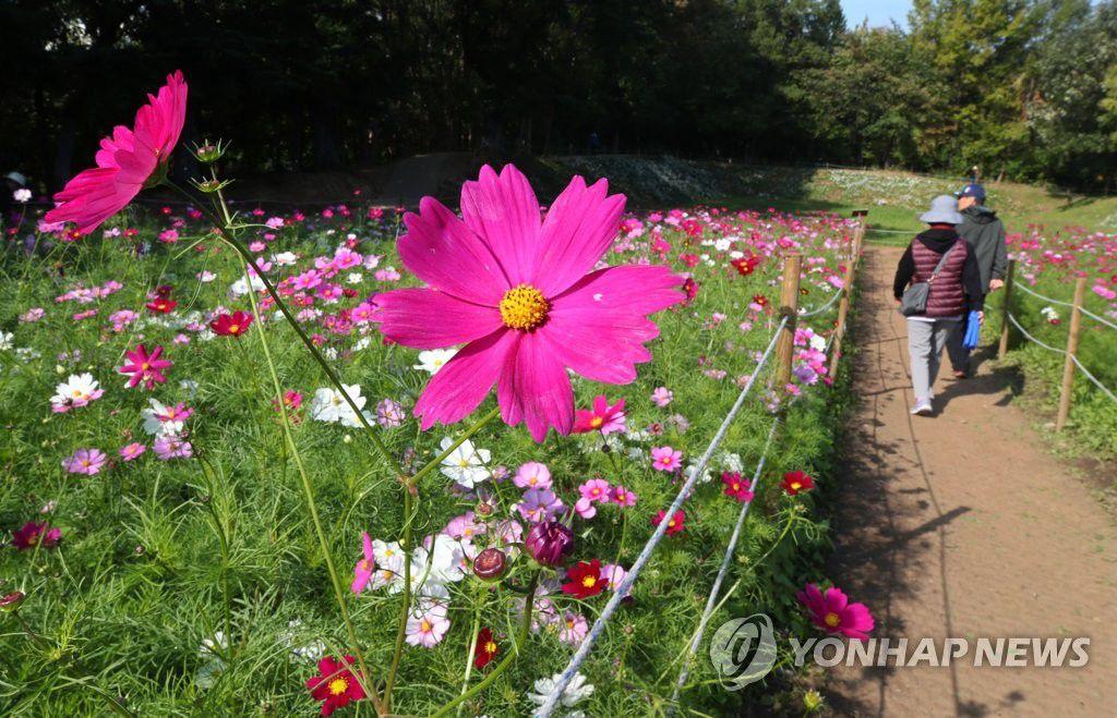 搜狗图片-share555【组图】韩国波斯菊花海吸引游客赏秋(2)