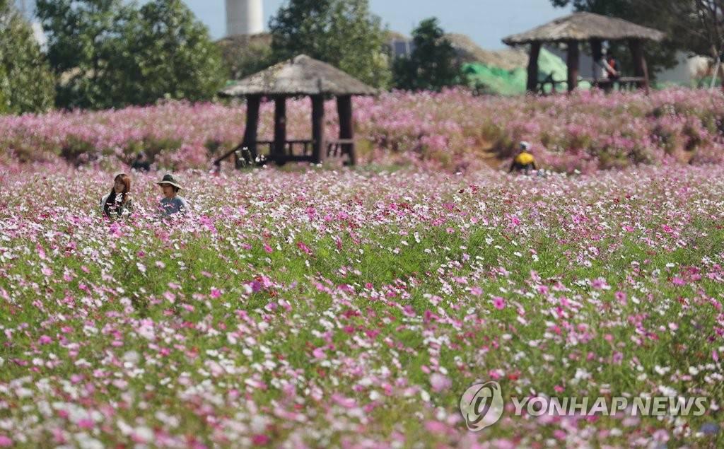 搜狗图片-share555【组图】韩国波斯菊花海吸引游客赏秋(6)