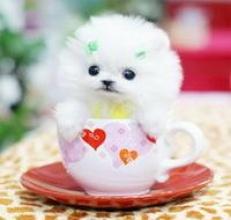 贵宾犬因基因突变而诞生成为茶杯犬