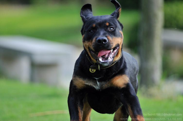 罗威纳犬聪明懂事个性沉稳