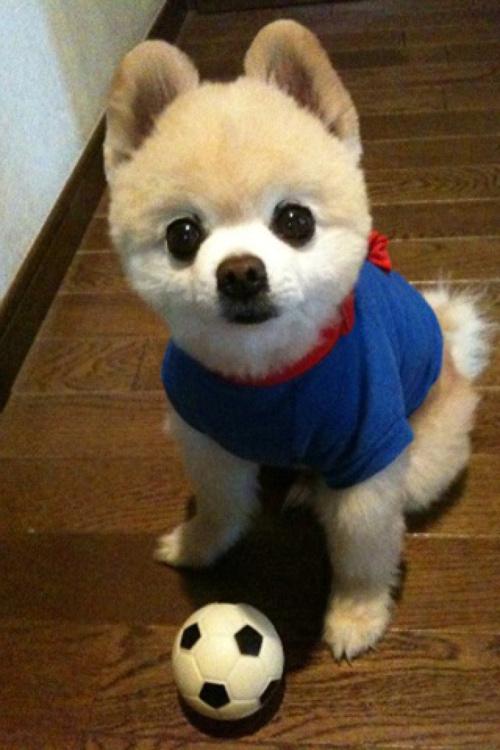 小型犬博美