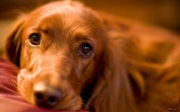 狗狗眼睛角膜炎就会变得浑浊