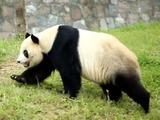 大熊猫家族的未来 大熊猫放归计划