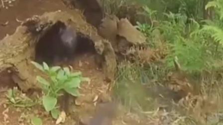 """澳大利亚:袋獾登岛获保护 企鹅惨遭""""灭门"""""""
