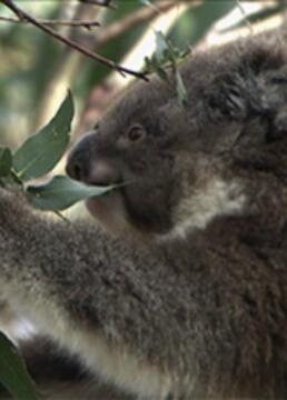 野生动物无与伦比的有袋动物树袋熊剧照