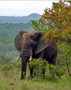 陆地霸主――非洲象剧照
