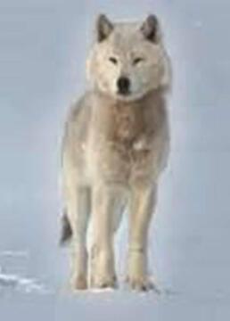 自然世界狼之风暴剧照
