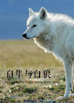 白隼与白狼剧照