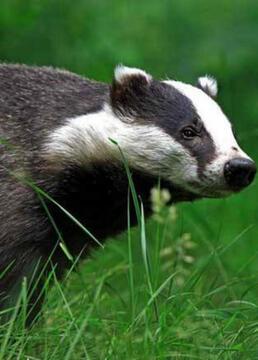 自然世界狗獾——毁坏大师剧照